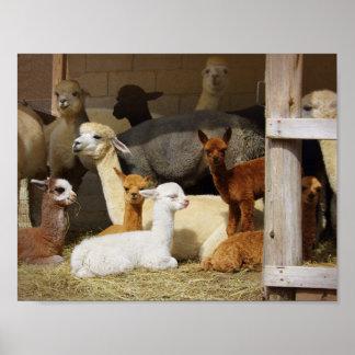 Alpaca Barn Poster