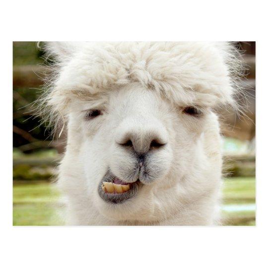 Alpaca Funny Face Postcard