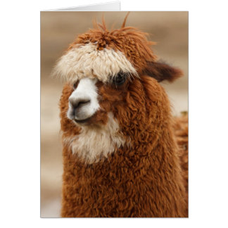 Alpaca greeting card
