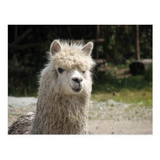 Alpaca, Parque Llaviucu, Ecuador Postcard