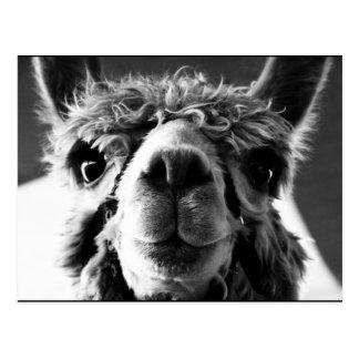 Alpaca Postcards