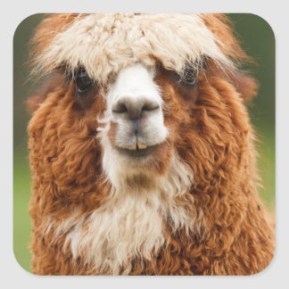 Alpaca Square Sticker