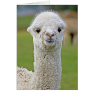 Alpaca stink eye card