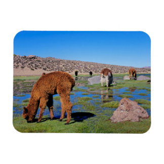 Alpaca (Vicugna Pacos) Grazing In Their Chilean Magnet