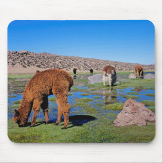 Alpaca (Vicugna Pacos) Grazing In Their Chilean Mouse Mat