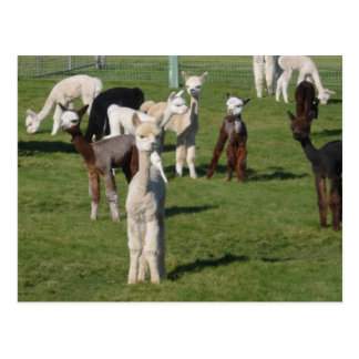 Alpaca youngsters postcard