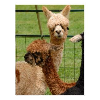 Alpacas Postcard