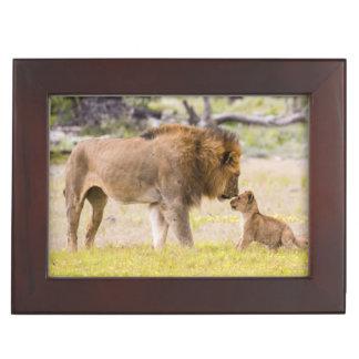 Alpha male lion inspects cub keepsake box