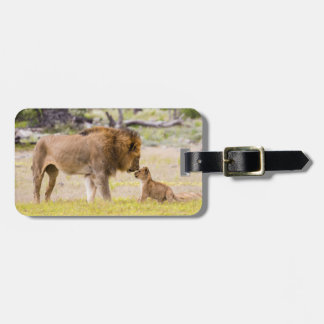 Alpha male lion inspects cub luggage tag