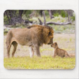 Alpha male lion inspects cub mouse mat
