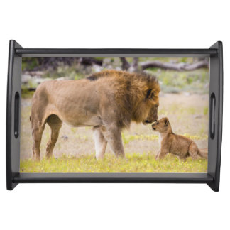 Alpha male lion inspects cub serving tray