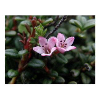Alpine Azalea Blossoms, Unalaska Island Postcard