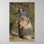 Alpine Marmot, Marmota marmota, adult standing