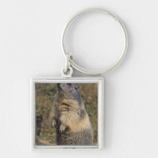 Alpine Marmot, Marmota marmota, adult standing Key Ring
