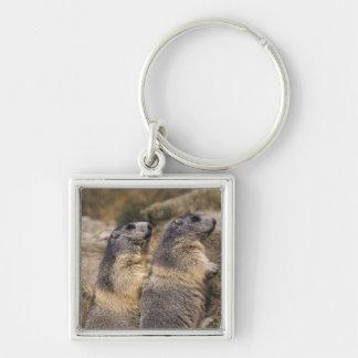 Alpine Marmot, Marmota marmota, adults, Saas Key Ring
