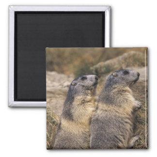 Alpine Marmot, Marmota marmota, adults, Saas Square Magnet