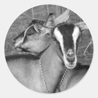 Alpine/Oberhasli goat does sisters photograph bw Round Sticker