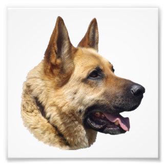 Alsatian German shepherd portrait Art Photo