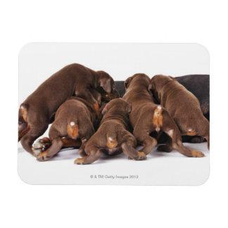 Also Doberman Pincher. Medium-sized domestic dog Rectangular Photo Magnet