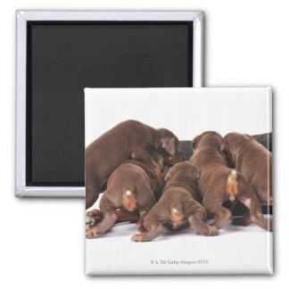 Also Doberman Pincher. Medium-sized domestic dog Square Magnet