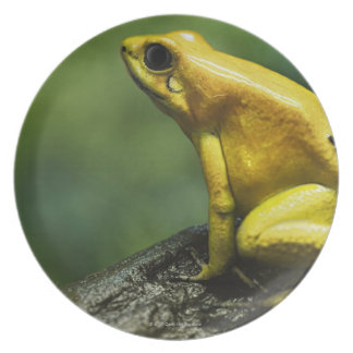 also known as Golden Dart Frog; endemic to the Plate
