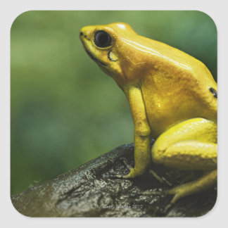 also known as Golden Dart Frog; endemic to the Square Sticker