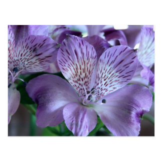 Alstroemeria Lily Postcard