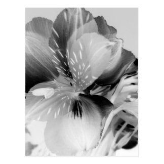 Alstroemeria Peruvian Lily Flower in Black & White Postcard