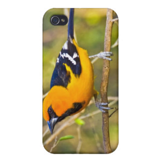 Altamira Oriole Icterus gularis), adult in iPhone 4 Case