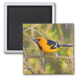 Altamira Oriole Icterus gularis), adult in Square Magnet