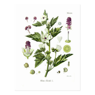 Althaea officinalis postcard