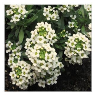 Alyssum White Green Custom Announcements