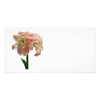 Amaryllis Aphrodite Photo Greeting Card
