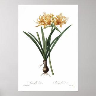 Amaryllis aurea print