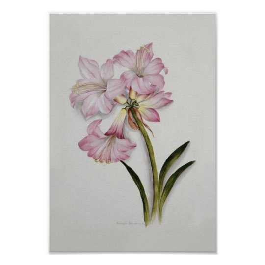 Amaryllis belladonna poster