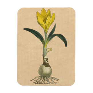 Amaryllis Botanical Vintage Garden Print Magnet