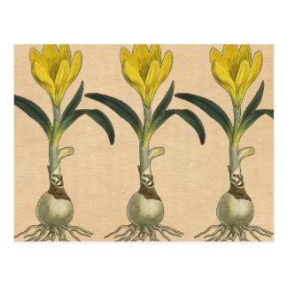 Amaryllis Botanical Vintage Garden Print Postcard