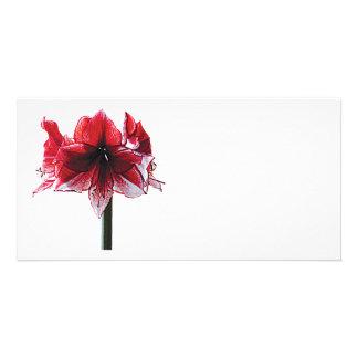 Amaryllis Charisma Photo Cards