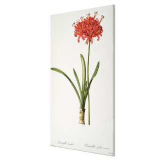 Amaryllis Curvifolia, 1809, from `Les Canvas Print