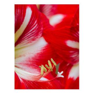amaryllis flower in the garden postcard