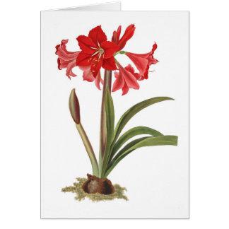 Amaryllis johnsoni card