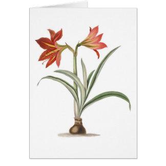 Amaryllis platypetala card