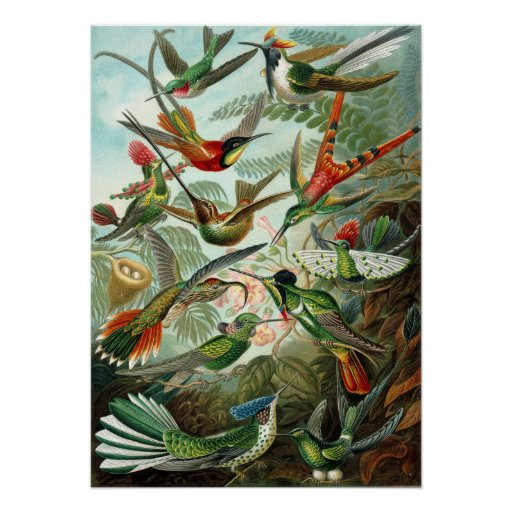 Amazing hummingbirds Image by Ernst Haeckel Poster
