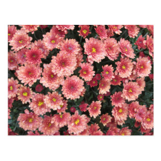 Amazing Pink Chrysanthemum Cluster Postcard