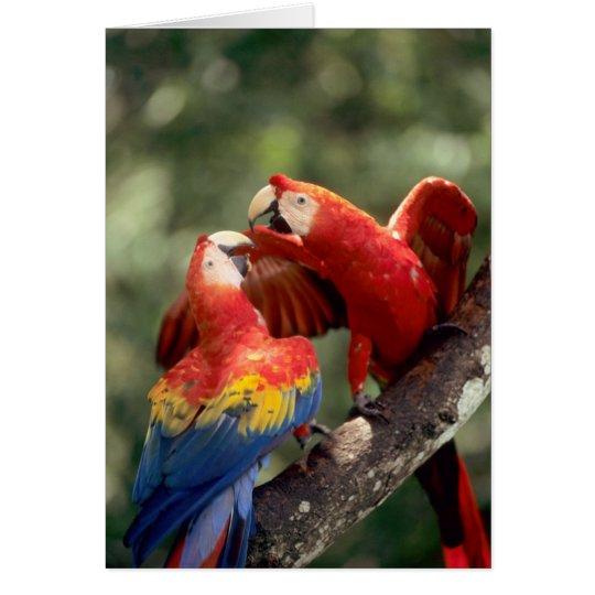 Amazon, Brazil. Pair of Scarlet Macaws (Ara Card