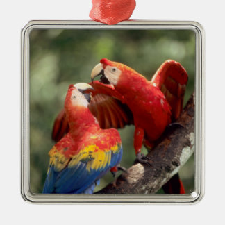 Amazon, Brazil. Pair of Scarlet Macaws (Ara Christmas Ornament
