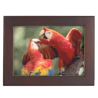 Amazon, Brazil. Pair of Scarlet Macaws (Ara Keepsake Box