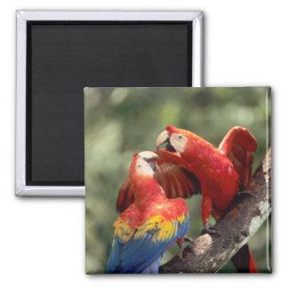 Amazon, Brazil. Pair of Scarlet Macaws (Ara Magnet