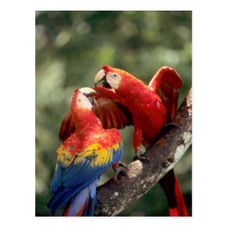Amazon, Brazil. Pair of Scarlet Macaws (Ara Postcard