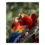 Amazon, Brazil. Pair of Scarlet Macaws (Ara Poster